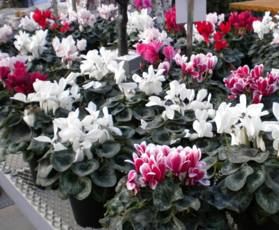 Valentine S Day Flowers Flowering Plants Gifts The Old Farmer S