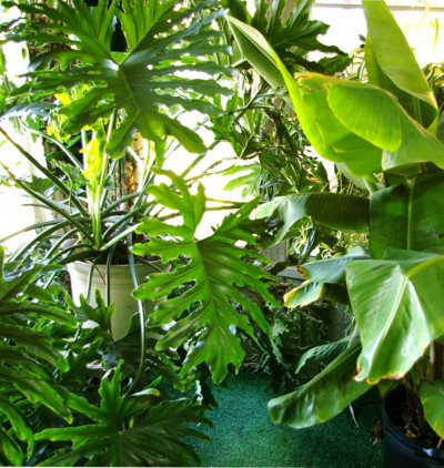the nasa studies on indoor pollution done in 1989 recommends 15 to 18 plants in 6 to 8 inch diameter containers to clean the air in an average 1800 square - Tropical House Plants