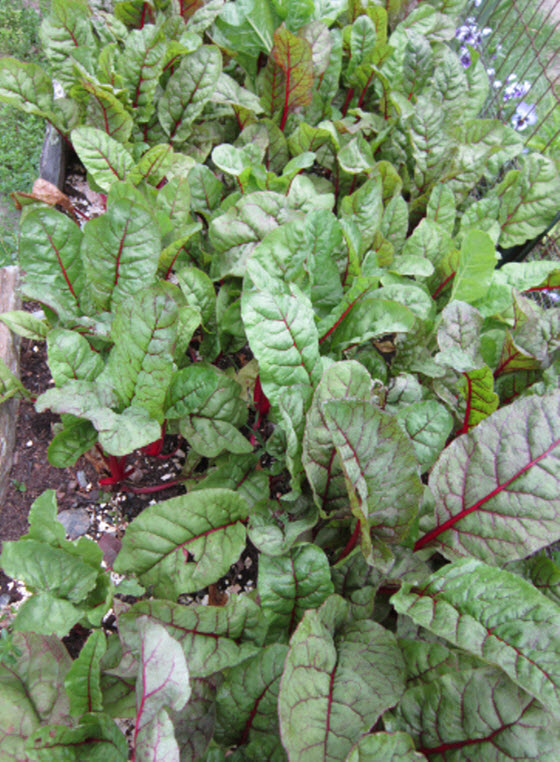 Planting And Growing Beets The Old Farmer S Almanac