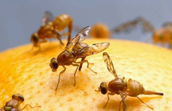 fruits and vegetables where do fruit flies come from