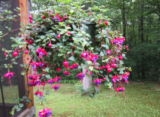 Hanging Flower Baskets Care : Peonies fuchsias plant care tips the old farmer s almanac