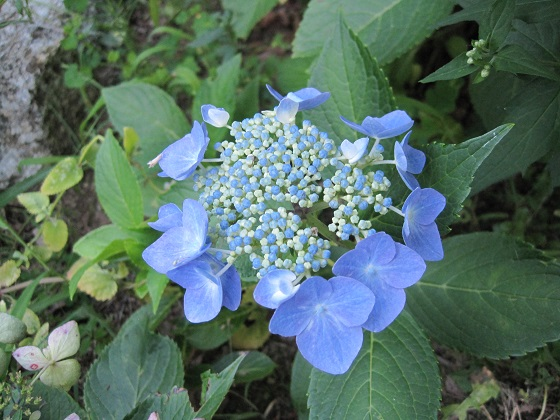 pruning hydrangea varieties  hydrangea care tips  the old, Beautiful flower
