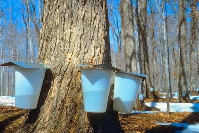 maple syrup sap buckets on trees