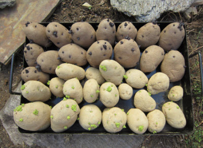 Planting Potatoes Gardening Tips And Pictures The Old