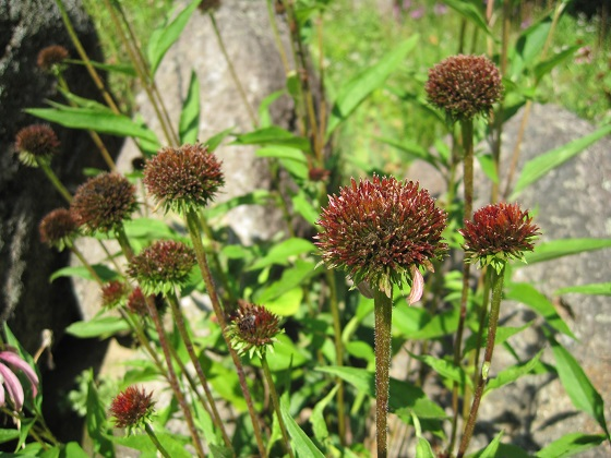Coneflowers And Other Daisy Like Flowers Hold Their Seeds Longer Making Them Easy To Collect If The You Are Waiting For Might Drop Before Can