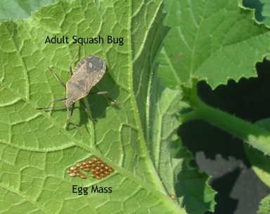squash bug and eggs 2