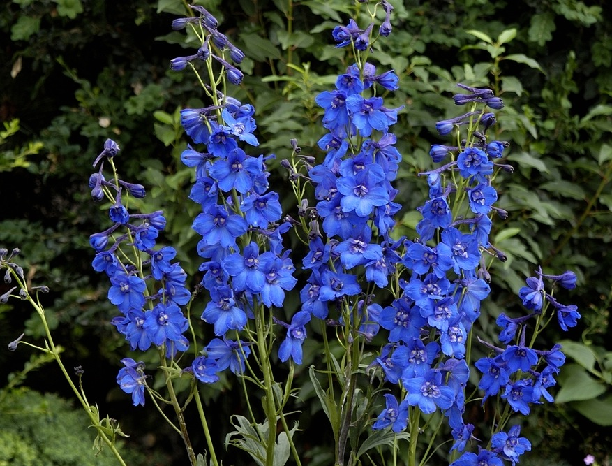 Delphiniums How To Plant Grow And Care For Delphinium