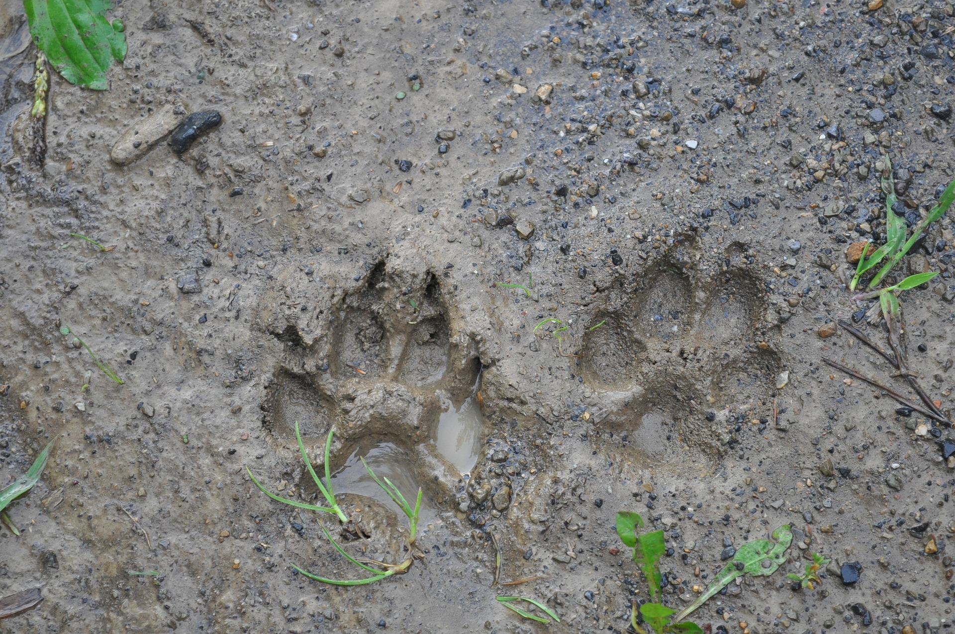 animal tracks identification animal footprints pictures the old