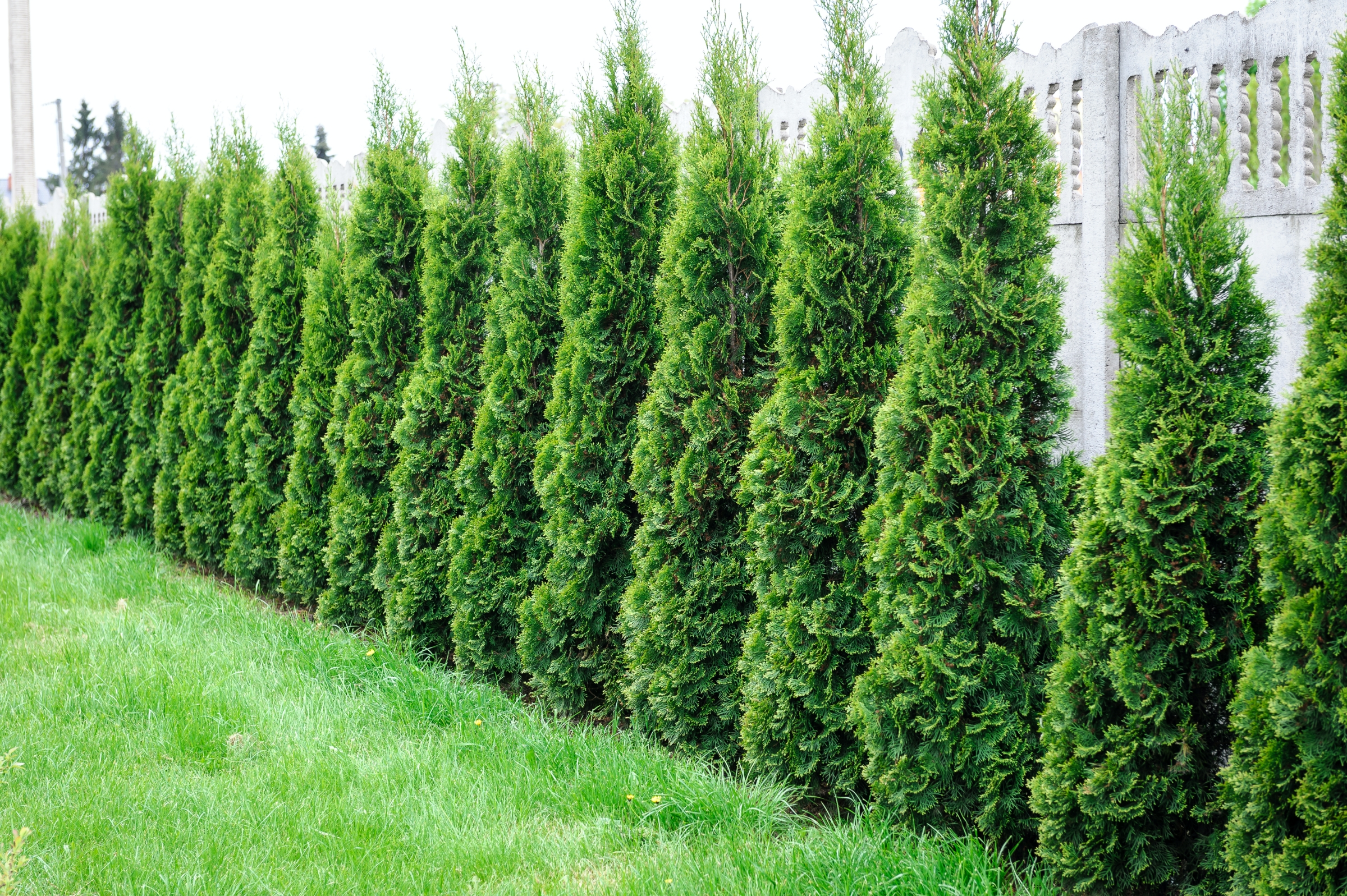 Arborvitae: Emerald Cedar - How To Protect Cedars For The Winter - Winter Care