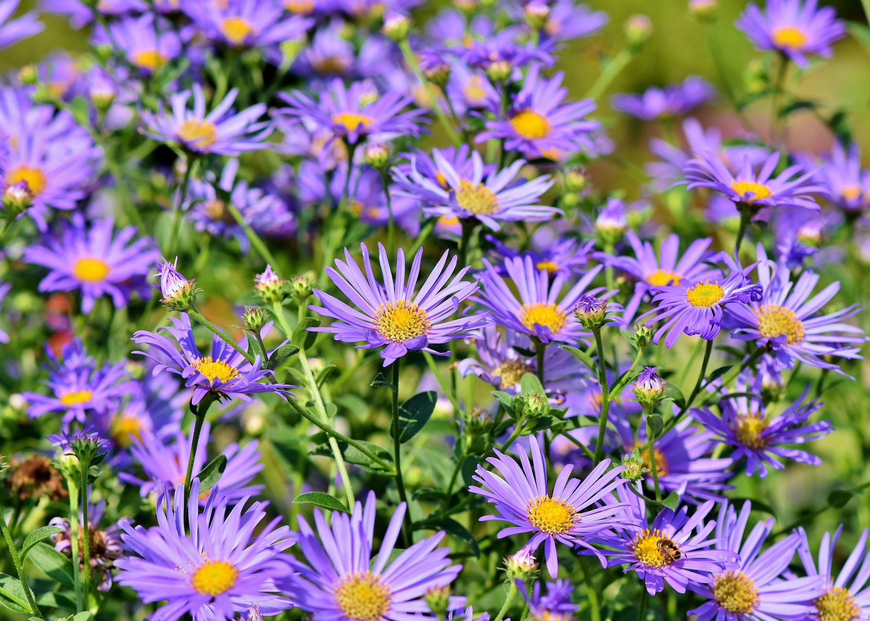 Asters How To Plant Grow And Care For Aster Flowers The Old