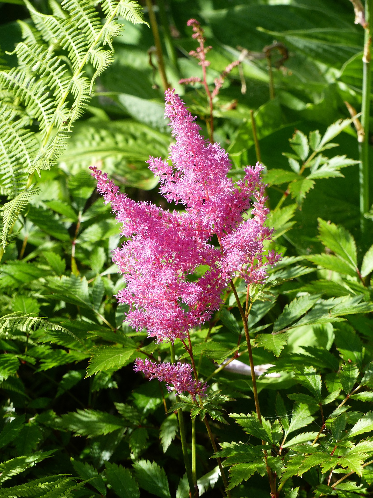 Astilbe How To Plant Grow And Care For Astilbe Flowers The Old