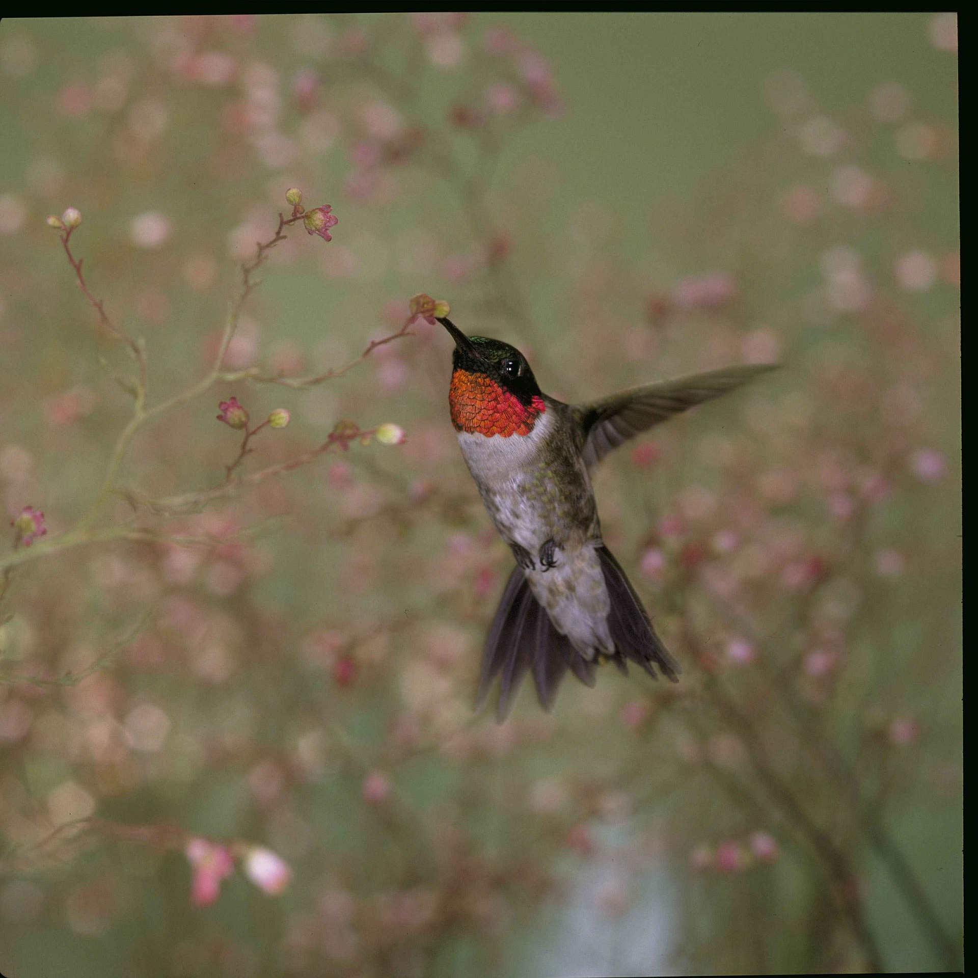 Attract Ruby Throated Hummingbirds