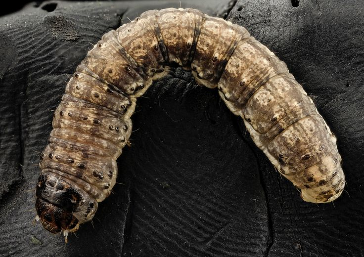 Cutworms How To Identify And Get Rid Of Cutworms In Your