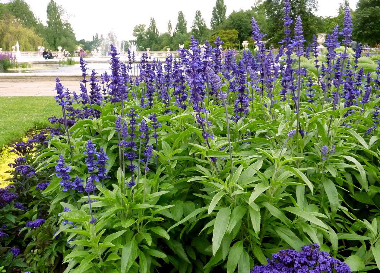 Salvia how to plant grow and care for salvia sage the old salvia how to plant grow and care for salvia sage the old farmers almanac izmirmasajfo