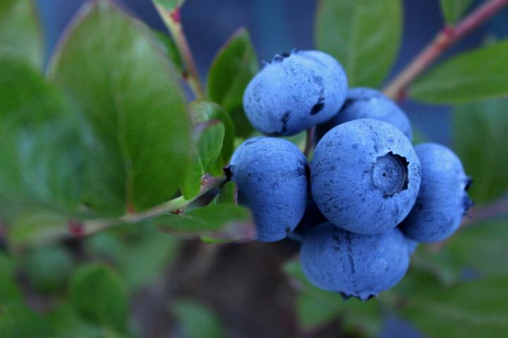 Growing Blueberries A Plant For All Seasons Old Farmer