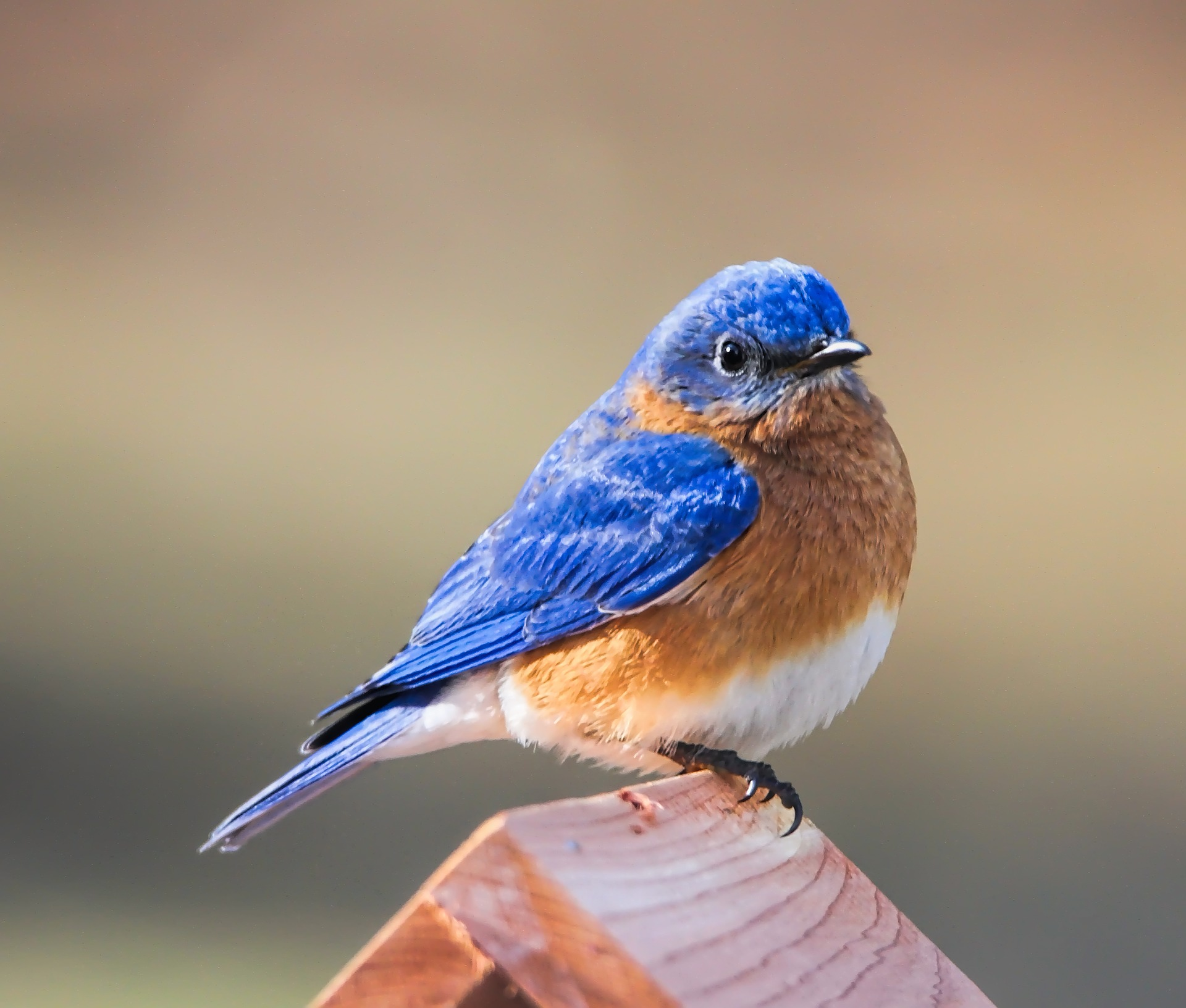 Songs Of The Eastern Bluebird