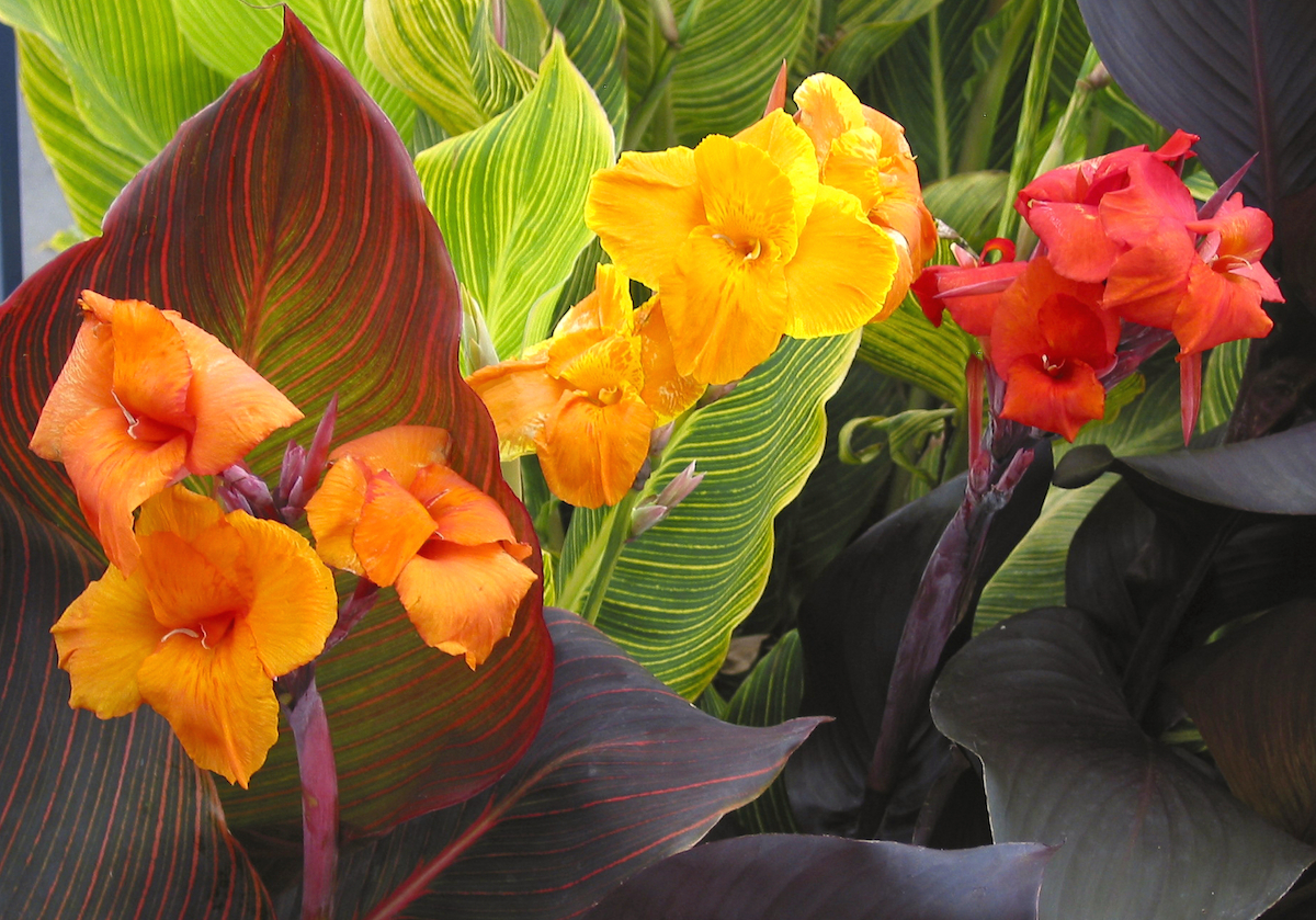 Cannas How To Plant Grow And Care For Canna Flowers The Old