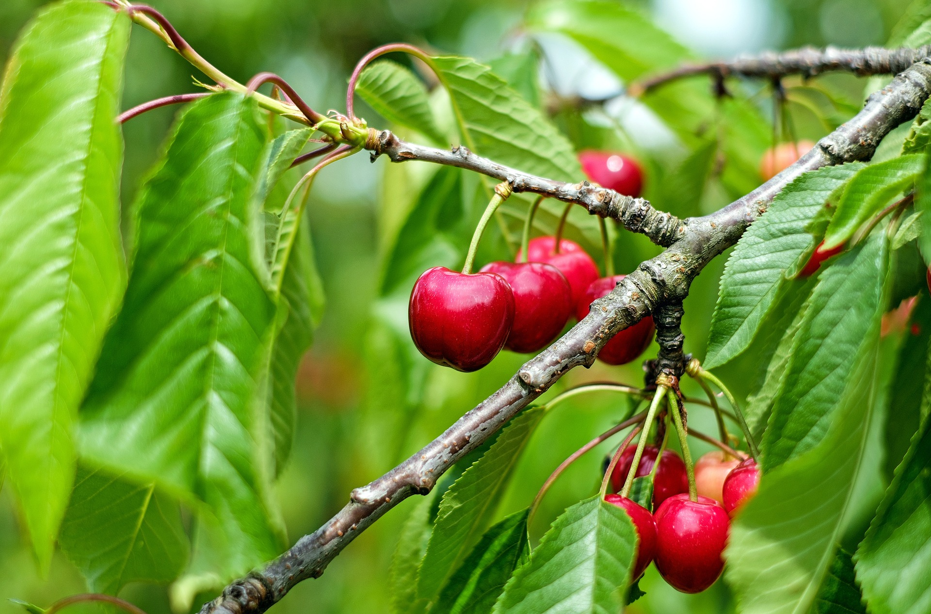 Planting sweet cherries in the fall - we are doing the right thing