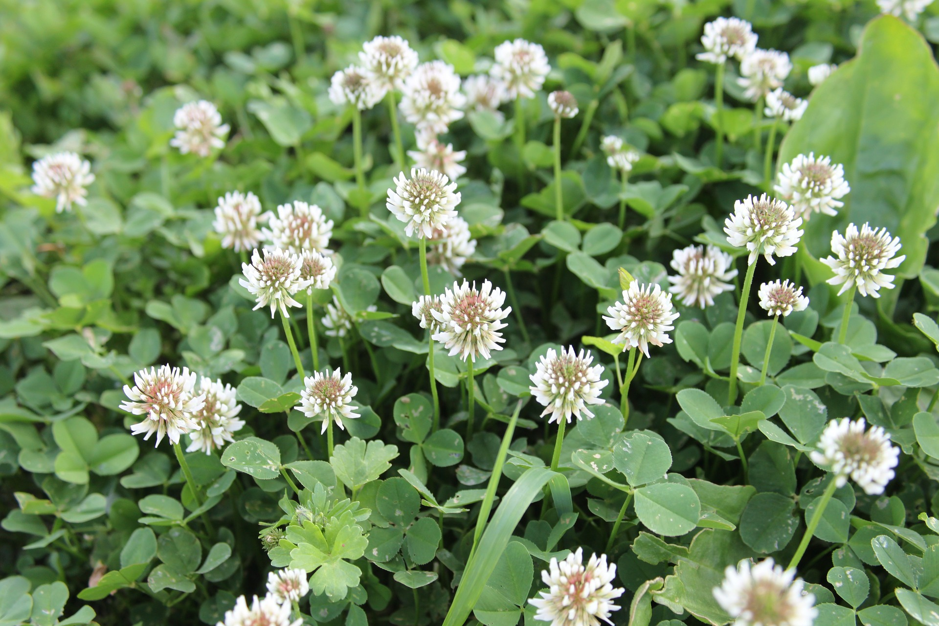 Growing A Clover Lawn The Old Farmers Almanac