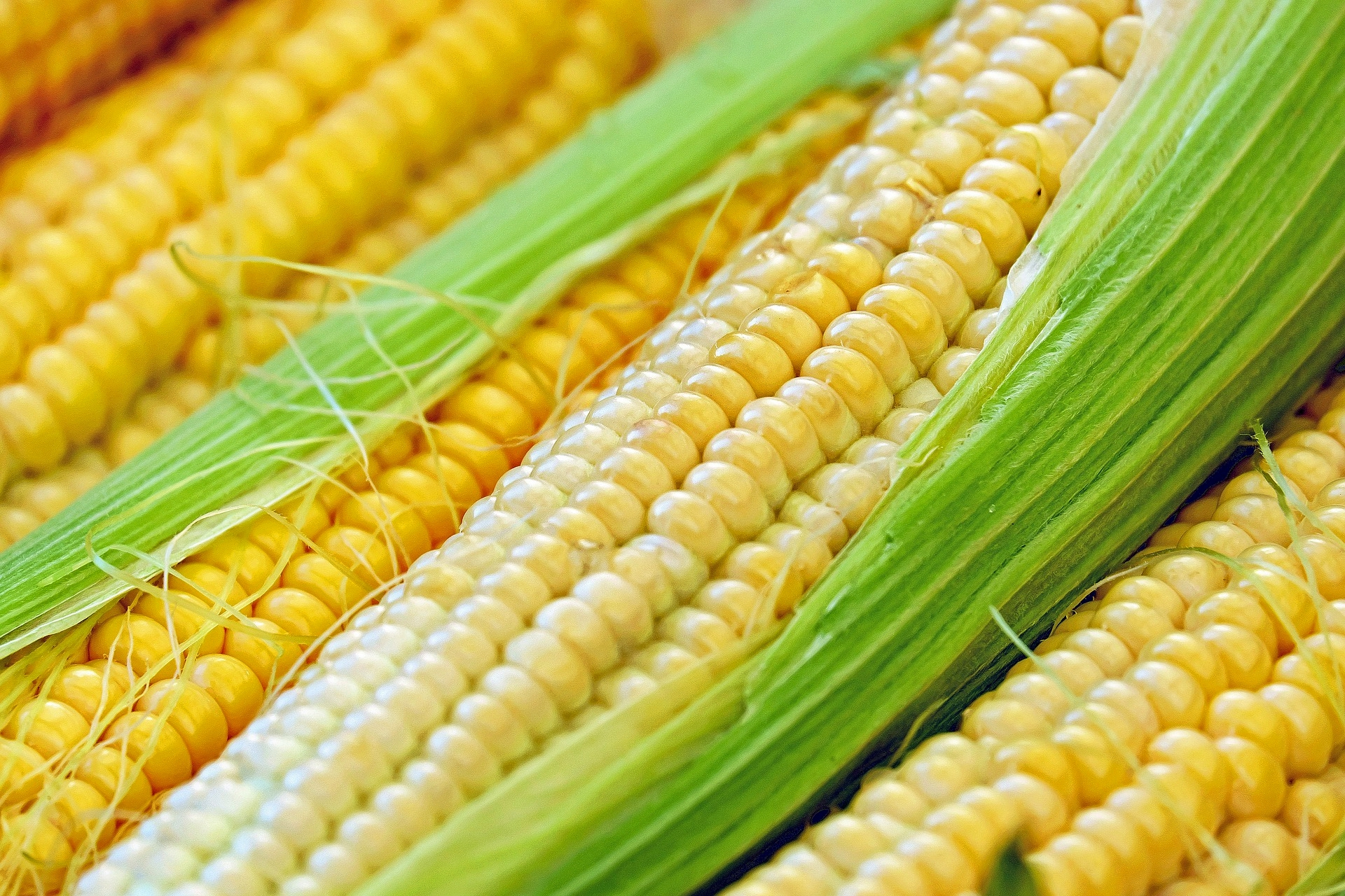 Sweet Corn: Planting, Growing, and Harvesting Sweet Corn | The Old