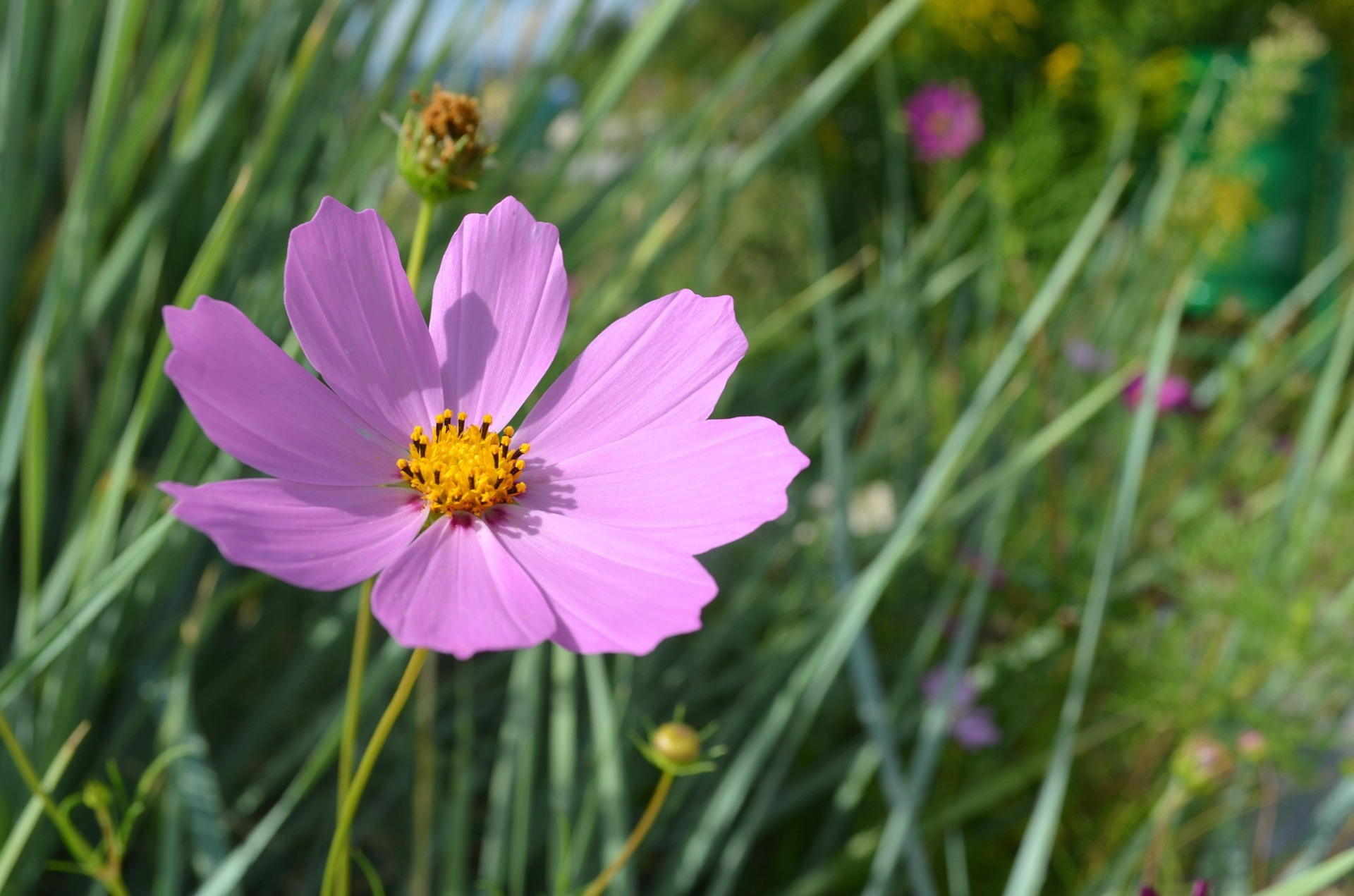 Cosmos how to plant grow and care for cosmos flowers the old cosmos how to plant grow and care for cosmos flowers the old farmers almanac izmirmasajfo