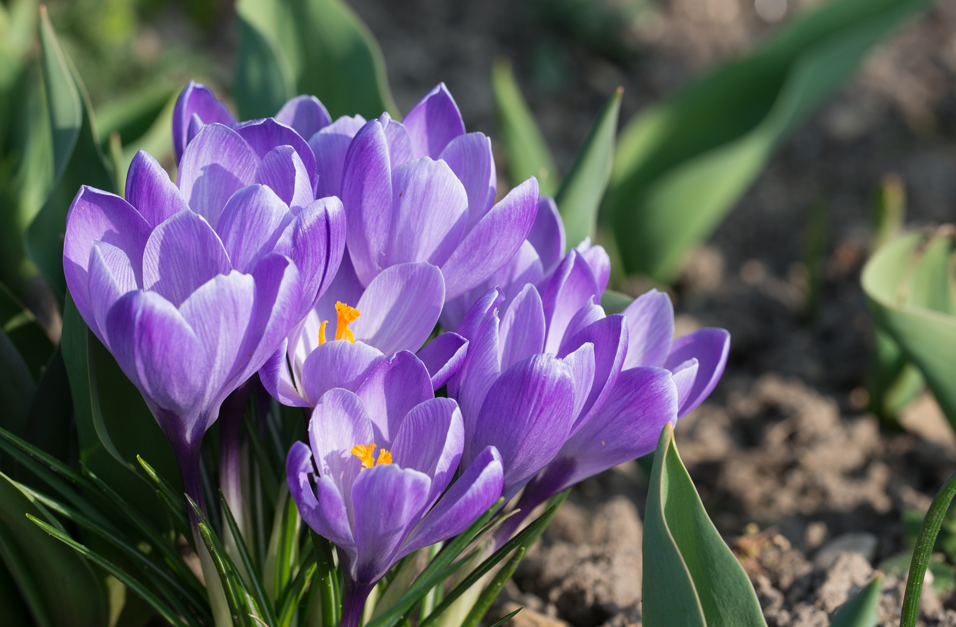 Crocuses How To Plant Grow And Care For Crocus Flowers The Old