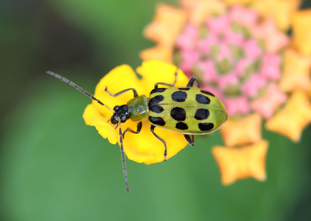 Cucumber Beetles How To Identify And Get Rid Of Cucumber Beetles