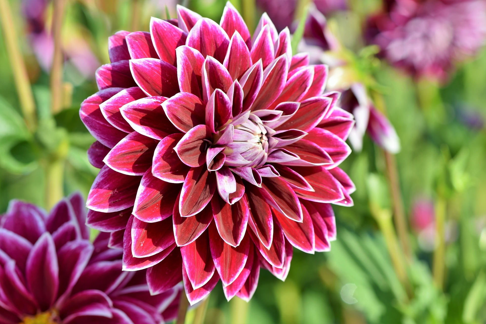 Dahlias How To Plant Grow And Care For Dahlia Flowers The Old Farmer S Almanac