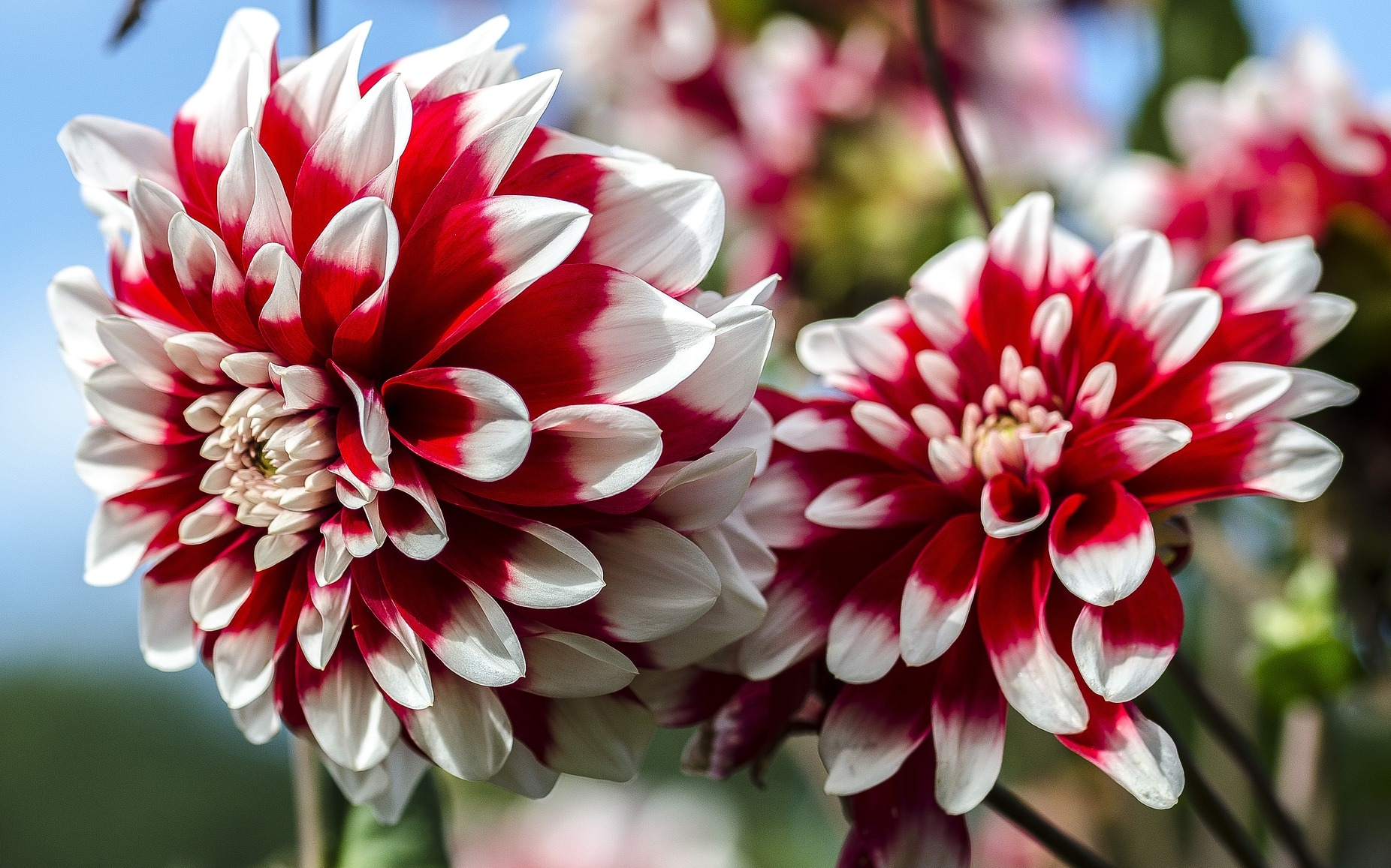 Dahlias how to plant grow and care for dahlia flowers the old dahlias how to plant grow and care for dahlia flowers the old farmers almanac izmirmasajfo