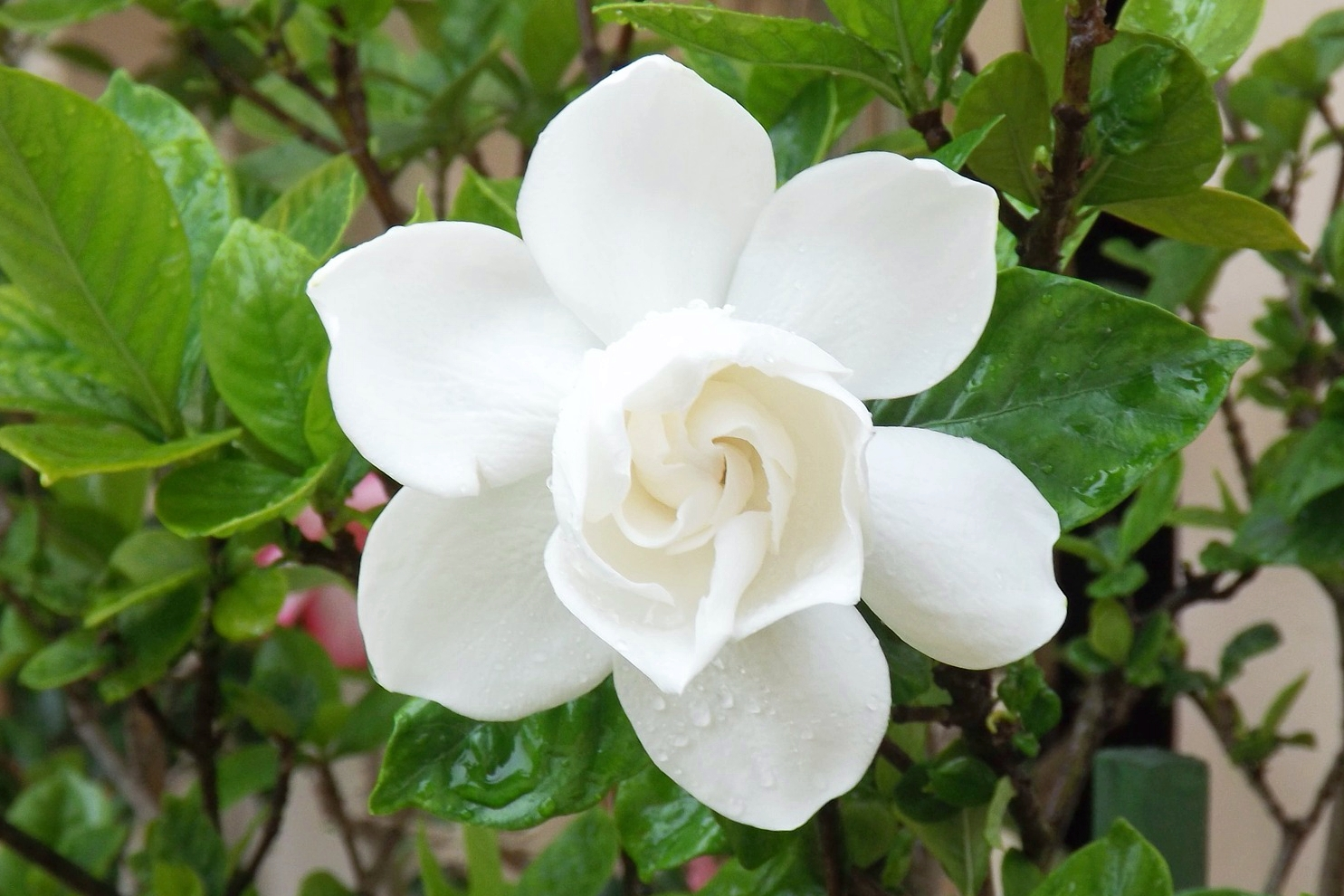 Gardenia How To Plant Grow And Care For Gardenias The Old Farmer S Almanac