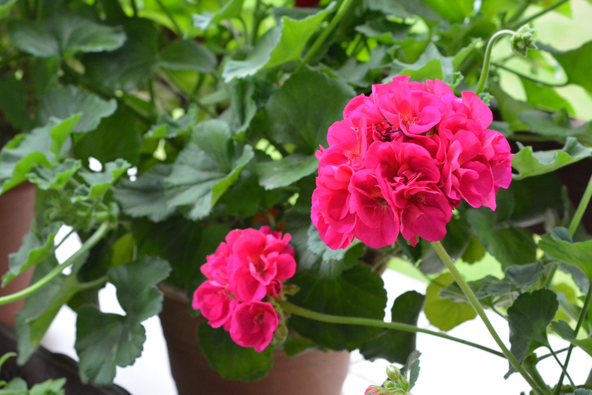 Geraniums how to plant grow and care for geraniums the old geraniums how to plant grow and care for geraniums the old farmers almanac izmirmasajfo