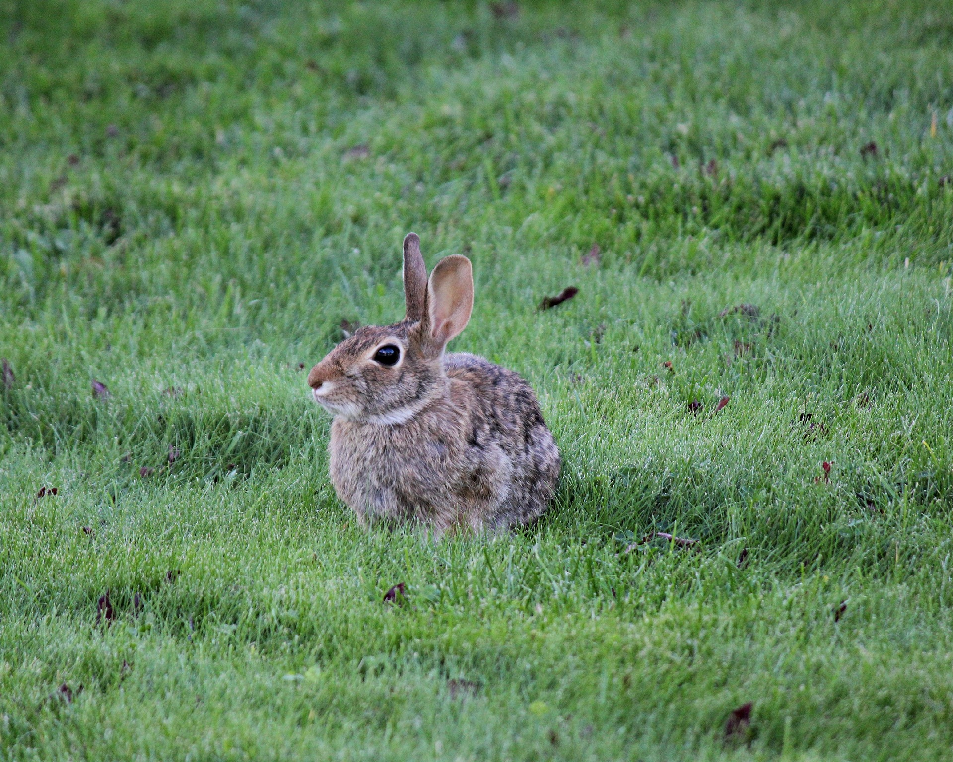 rabbits how to identify and get rid of rabbits garden pest
