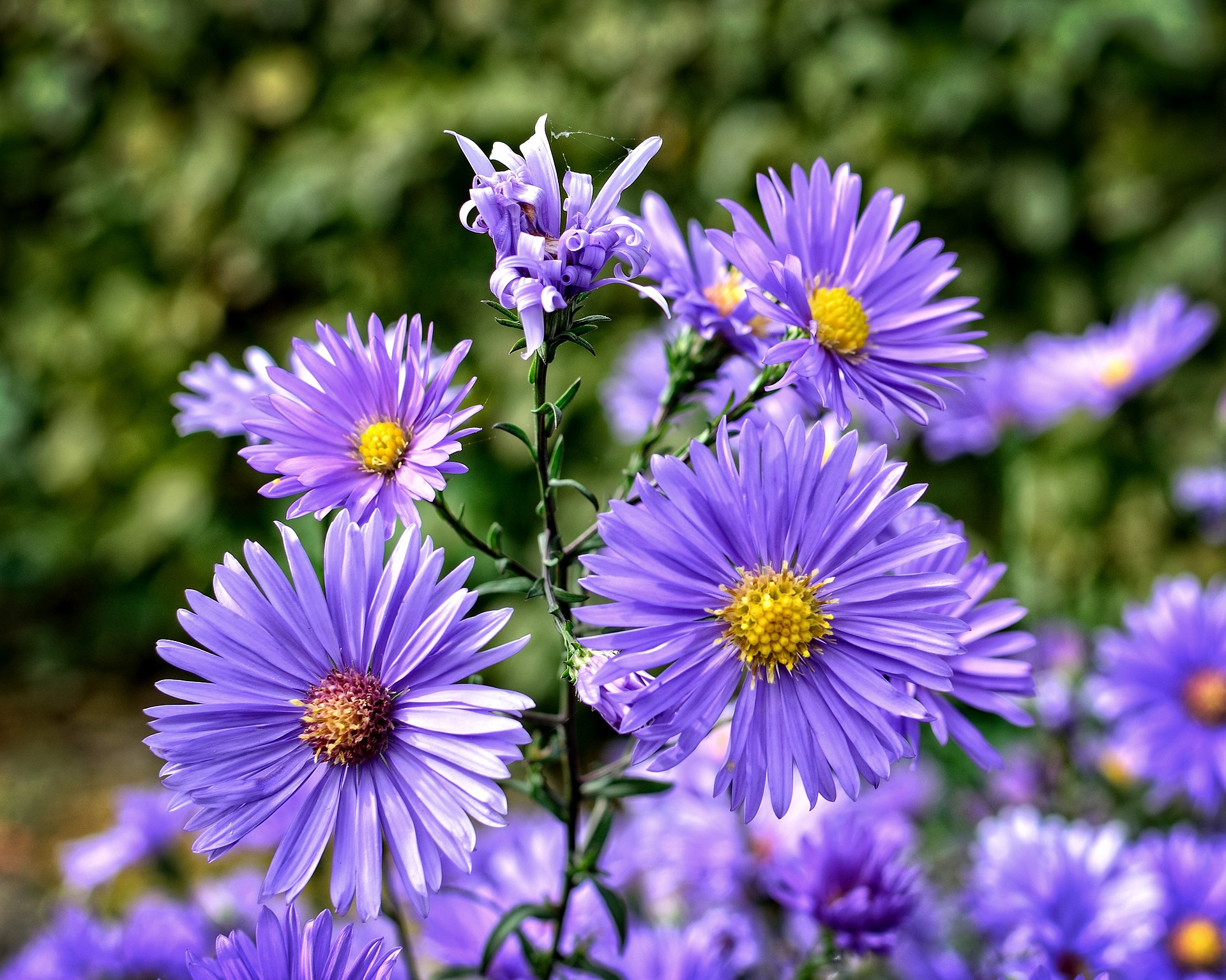 aster how to plant, grow, and care for aster flowers  the old, Beautiful flower
