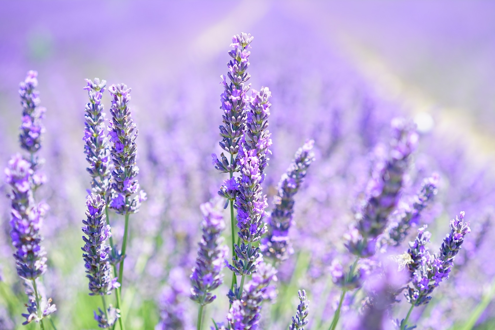 How to Care for Lavender in Winter | Indoors & Outdoors | The Old ...