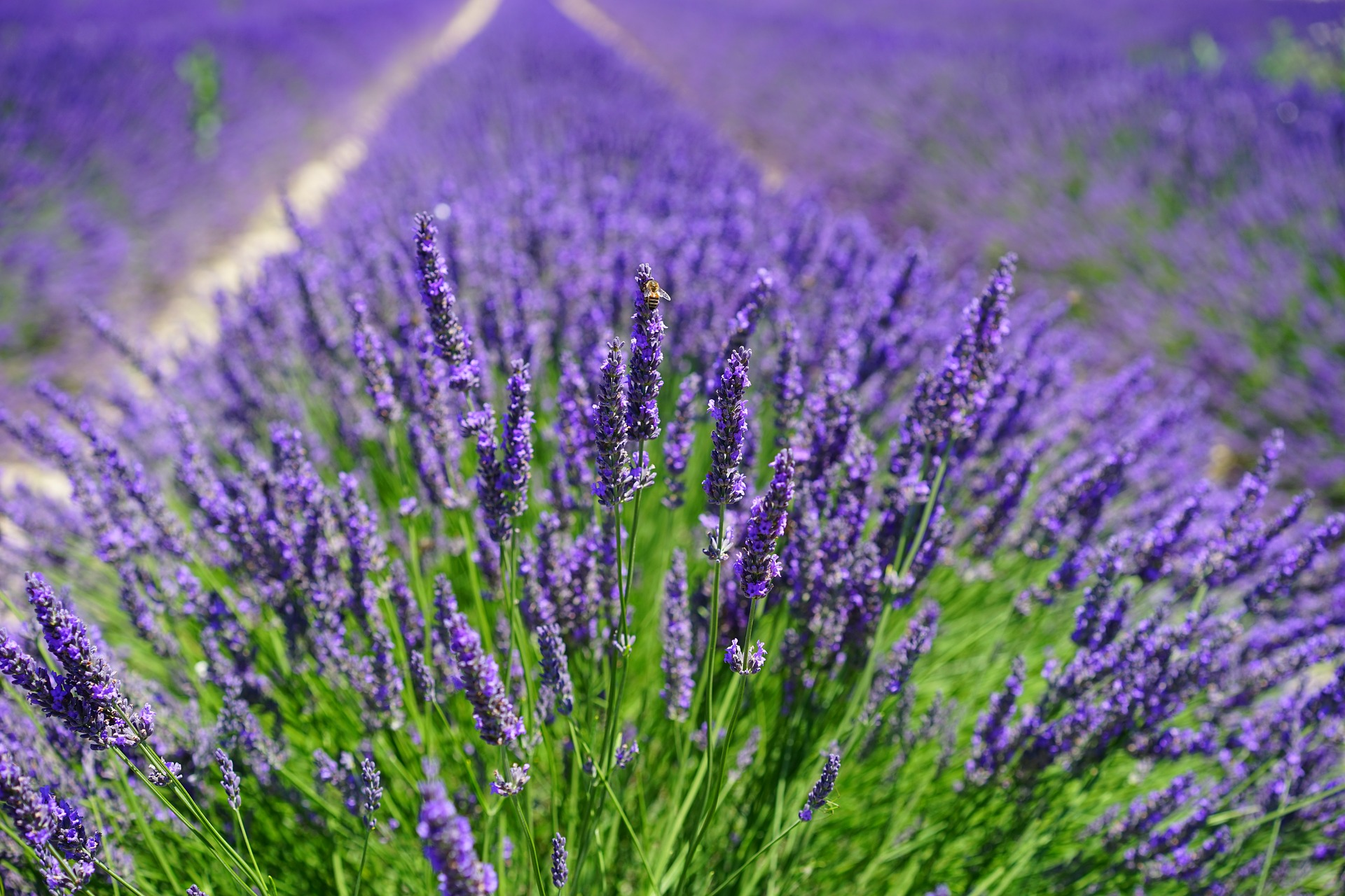 Lavender How To Plant Grow And Care For Lavender The Old Farmer S Almanac