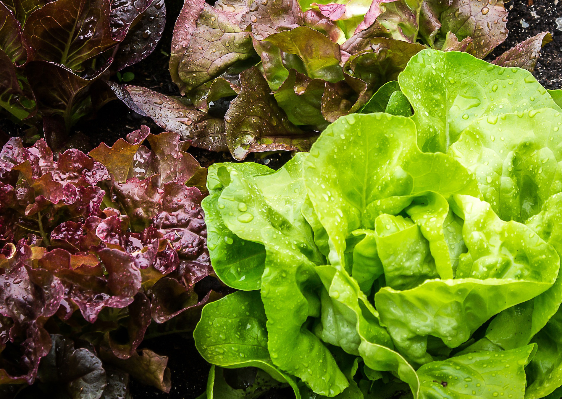 Grow Salad Greens Indoors All Winter Long Under
