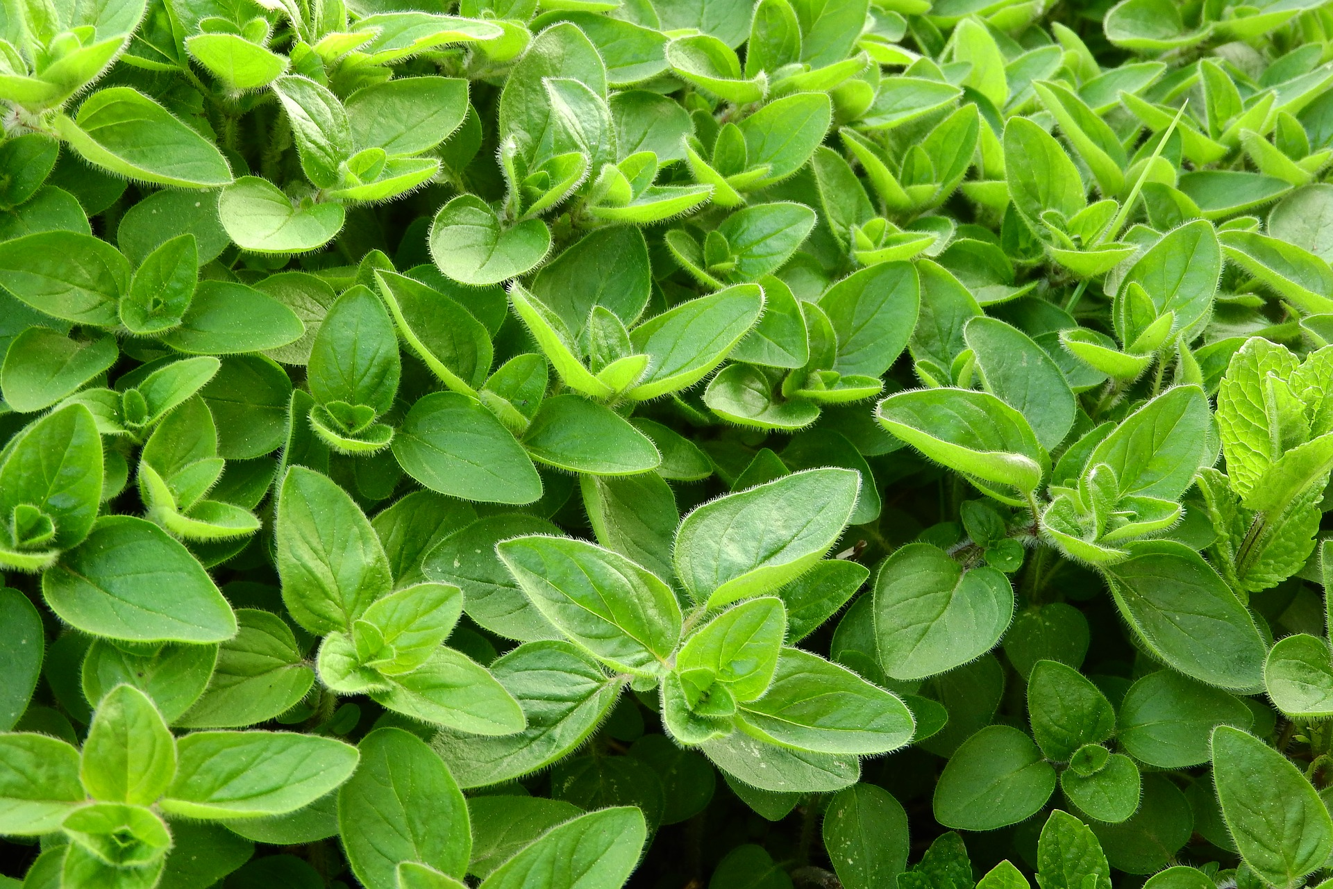 The Single Strategy To Use For How To Plant, Grow, And Harvest Marjoram - Harvest To Table