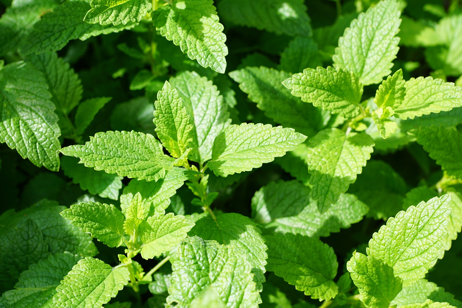 Mint: Planting, Growing, and Harvesting Mint Plants | The ...