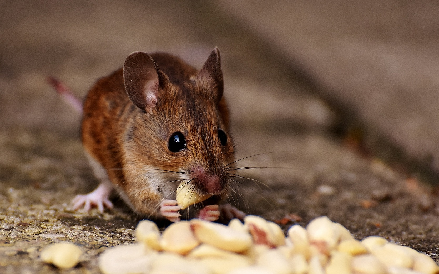 Mice How To Identity And Get Rid Of Mice In The Garden And Home