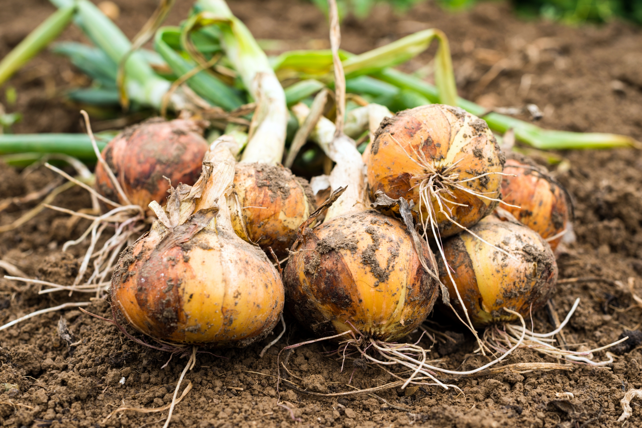 Growing Onions: Varieties, Planting, and Harvesting   The Old ...