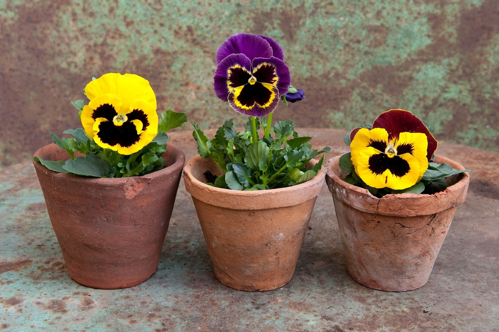 Growing Pansies How To Plant Grow And Care For Pansy Flowers