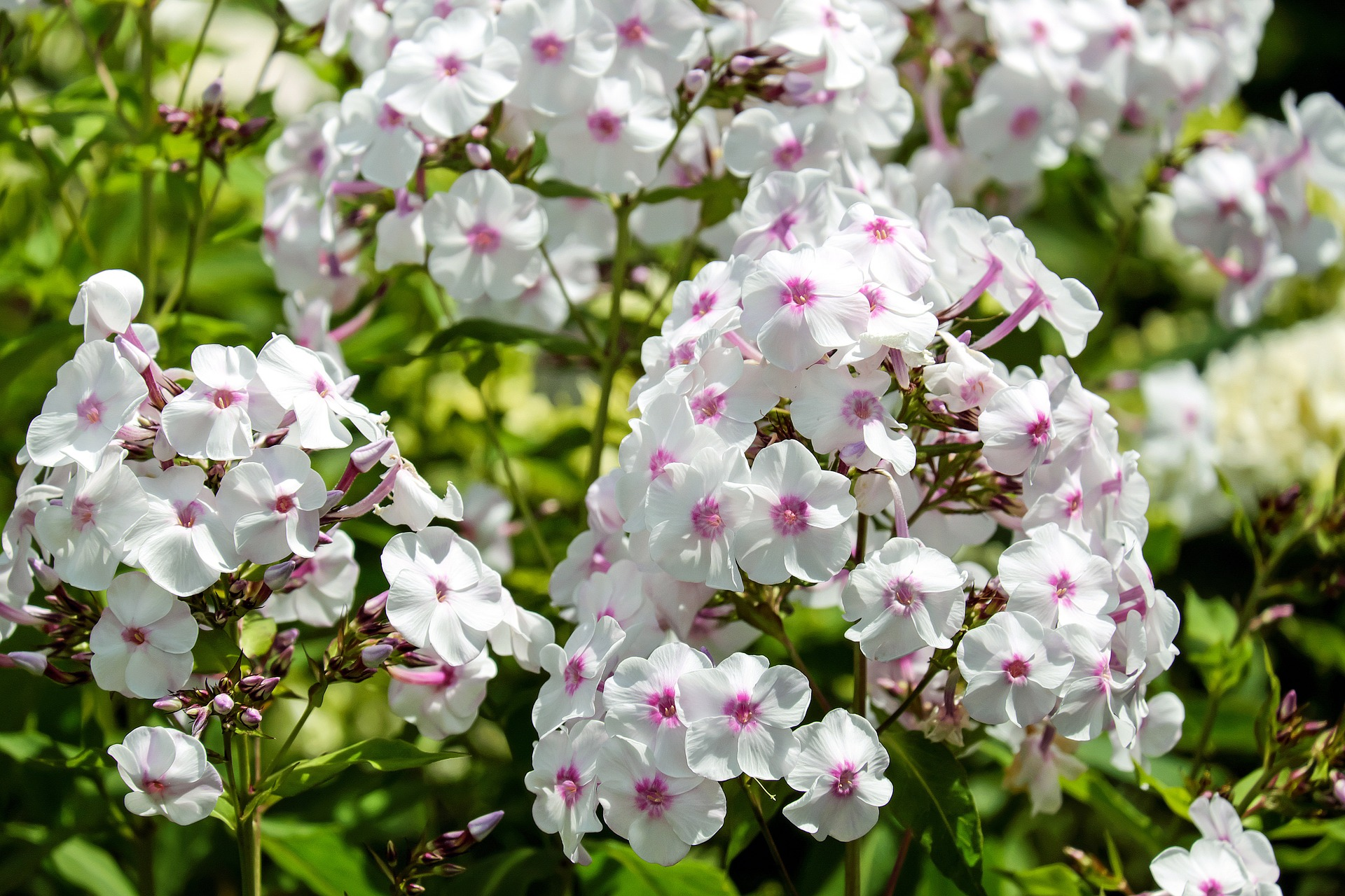 Phlox Planting Growing And Caring For Phlox The Old Farmers