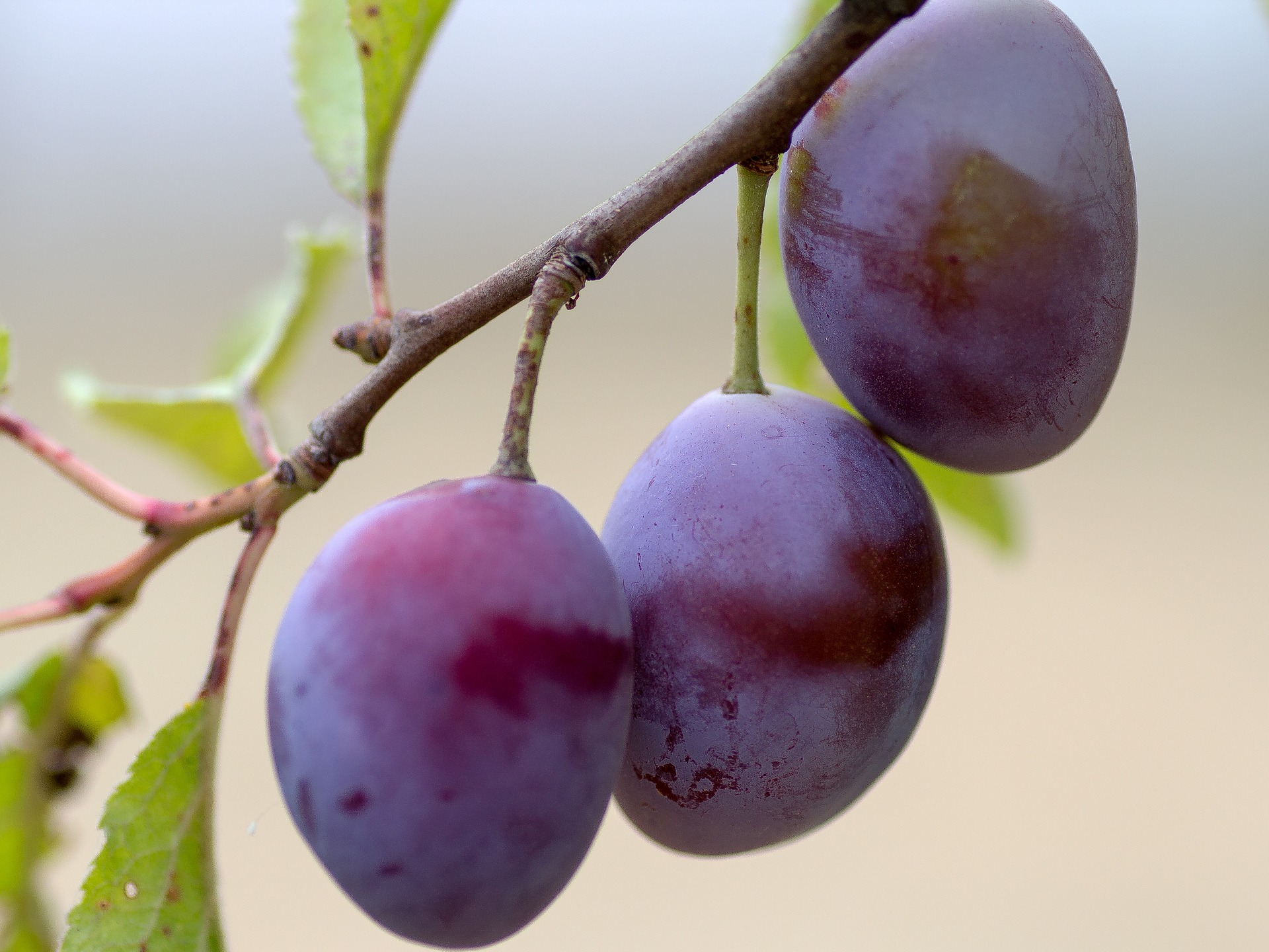 Plums planting growing and harvesting plums the old farmer 39 s almanac - Fruit trees every type weather area ...
