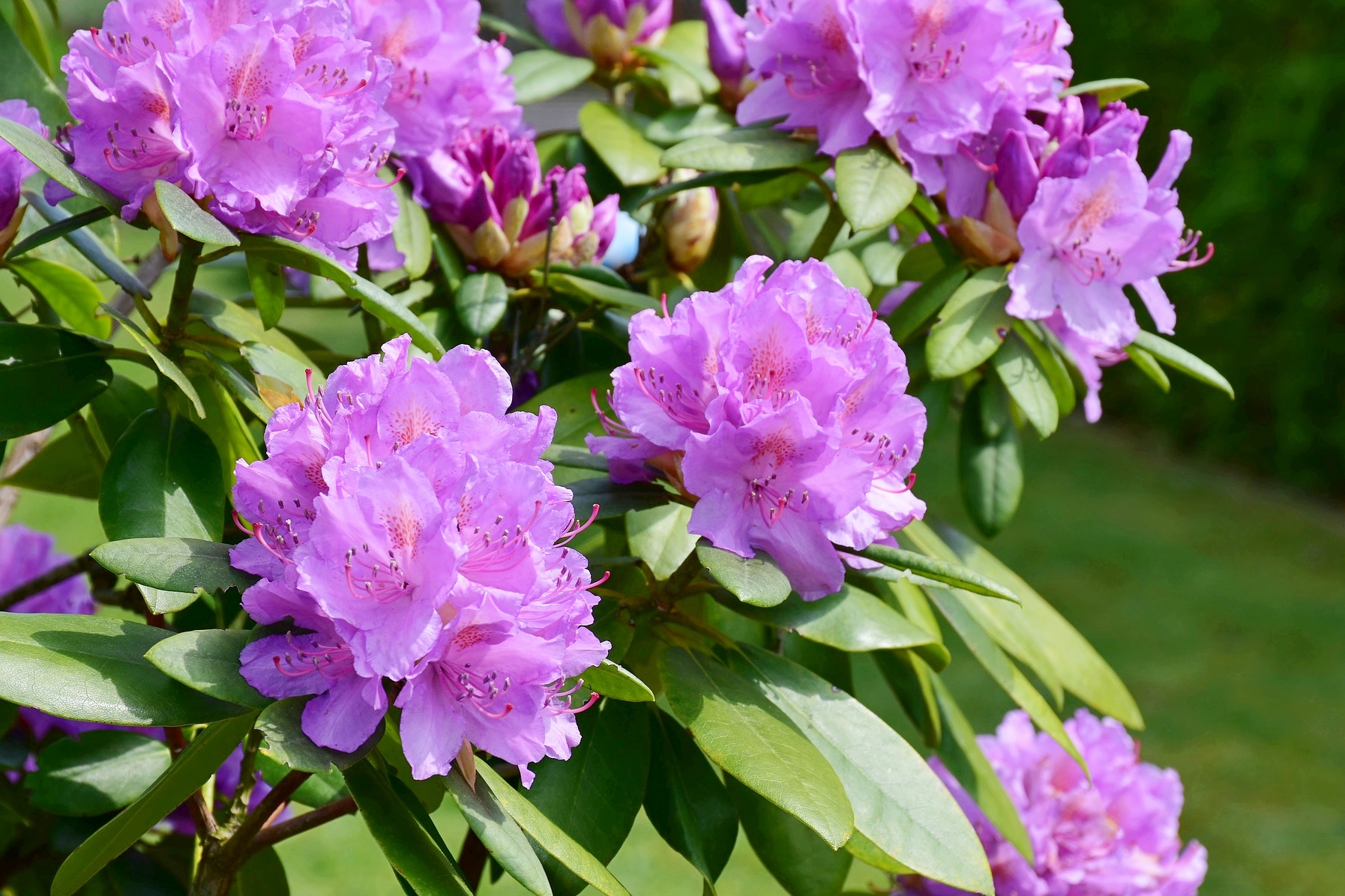 Rhododendrons Azaleas How To Plant Grow And Care For