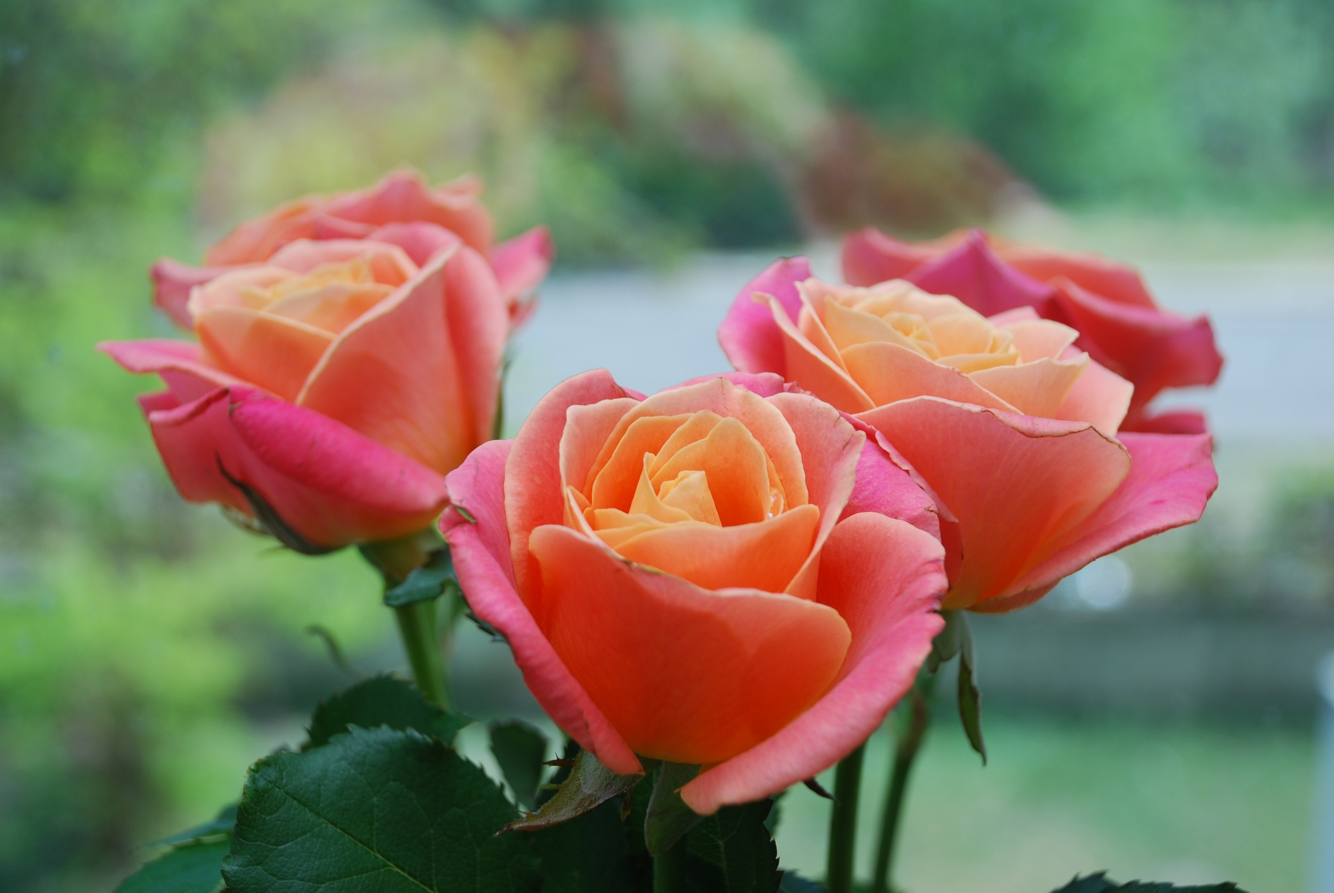 Year Of The Rose Best Types Of Roses Old Farmer S Almanac