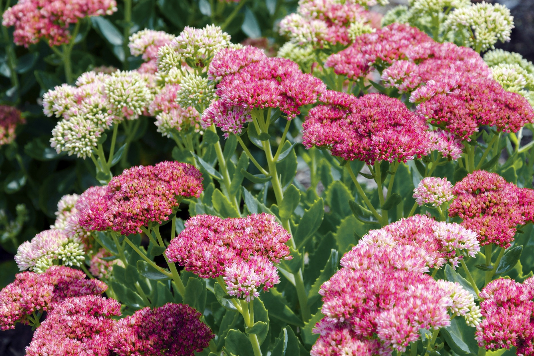 Sedum How To Plant Grow And Care For Sedum Plants The Old