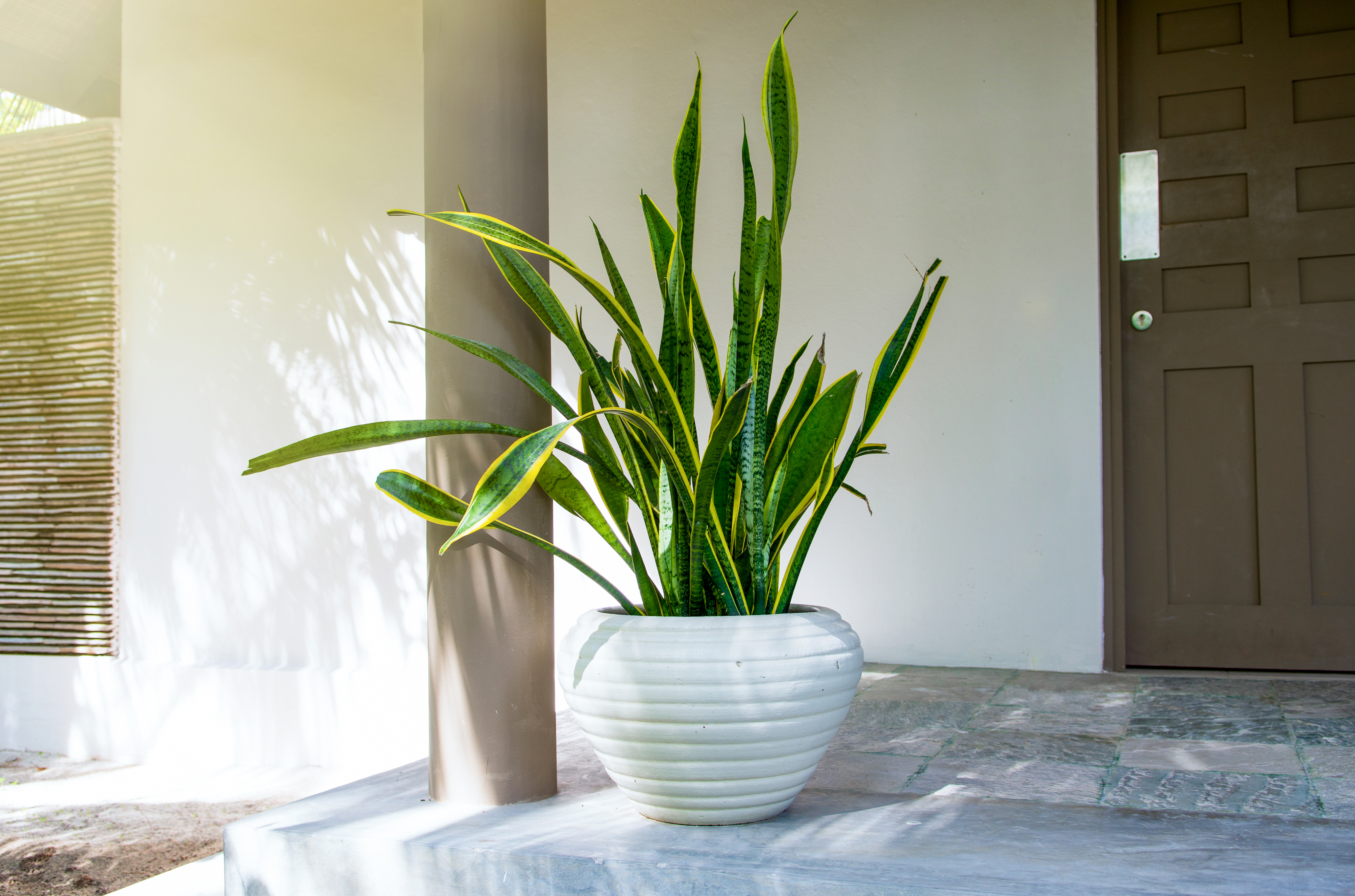 Snake Plants How To Care For Snake Plants Sansevieria