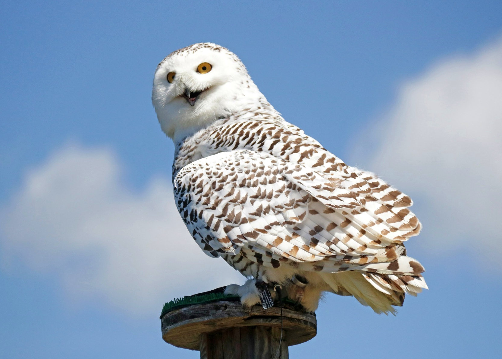 Snowy owls are returning old farmers almanac biocorpaavc Choice Image