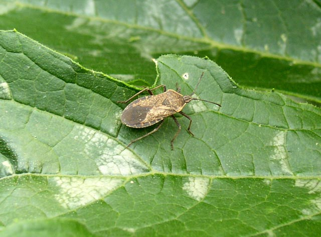 Squash Bugs How To Identify And Get Rid Of Squash Bugs