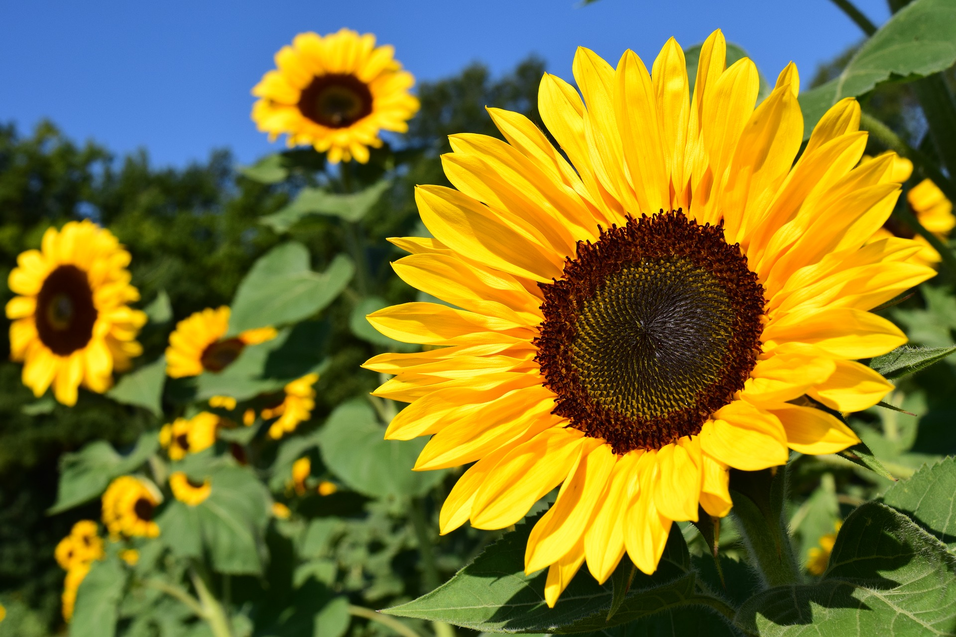Sunflowers how to plant grow and care for sunflower plants the sunflowers how to plant grow and care for sunflower plants the old farmers almanac izmirmasajfo